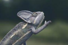 Cammeleons Στοκ Εικόνα