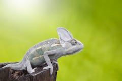 Cammeleons Στοκ εικόνες με δικαίωμα ελεύθερης χρήσης