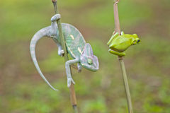 Cammeleons and frog Stock Photography