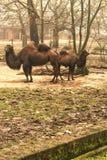 cammelli immagine stock