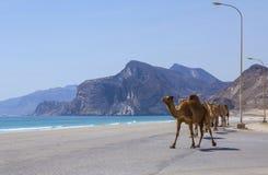 cammelli Fotografia Stock Libera da Diritti