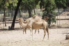 cammelli Immagini Stock Libere da Diritti