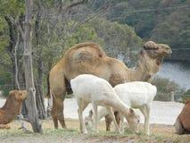 cammelli Immagini Stock