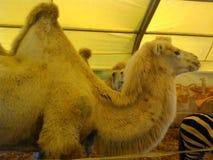 Cammelli ad uno zoo Bello animale Immagini Stock