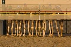 Cammelli all'inizio di una corsa. Fotografia Stock