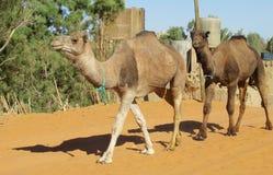 Cammelli che camminano nel villaggio del Sahara Immagini Stock