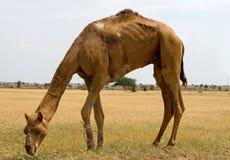 Cammelli che mangiano erba fotografia stock