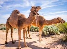 Cammelli del deserto fotografia stock