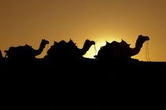 Cammelli del deserto Fotografie Stock
