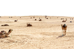 Cammelli, deserti del Sahara, Tunisia fotografie stock libere da diritti
