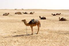 Cammelli, deserti del Sahara, Tunisia Immagini Stock Libere da Diritti