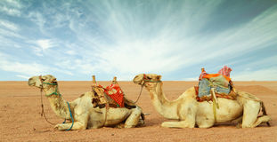 Cammelli in deserto Fotografia Stock Libera da Diritti