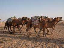 Cammelli in deserto Immagine Stock Libera da Diritti