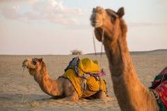 Cammelli in deserto del Thar, Ragiastan immagini stock