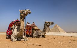 Cammelli di Gizeh, Egitto immagine stock libera da diritti