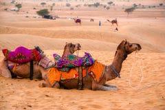 Cammelli e dune di sabbia Fotografia Stock
