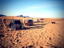 Cammelli e un gatto nel deserto Fotografia Stock