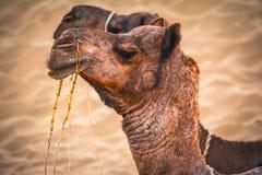 Cammelli gemellati sparati in un deserto Fotografia Stock Libera da Diritti