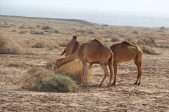 Cammelli nel deserto Fotografie Stock