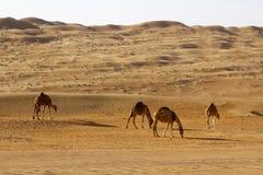 Cammelli nel deserto Fotografie Stock Libere da Diritti