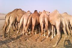 Cammelli nel deserto Fotografia Stock Libera da Diritti