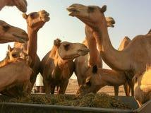 Cammelli nel deserto Immagine Stock Libera da Diritti
