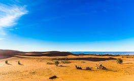 Cammelli nel deserto del Sahara del Marocco immagine stock