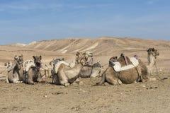 Cammelli nel deserto di Judean, Israele Immagini Stock Libere da Diritti
