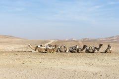 Cammelli nel deserto di Judean, Israele Immagine Stock