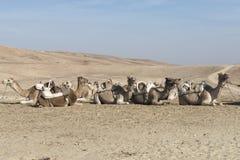 Cammelli nel deserto di Judean, Israele Immagini Stock