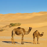 Cammelli nel deserto - mare della sabbia di Awbari, Sahara Fotografia Stock