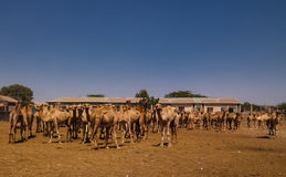 Cammelli nel mercato del cammello a Hargeisa, Somalia Fotografia Stock