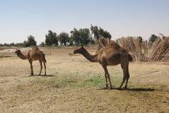 Cammelli nell'Egitto Immagine Stock Libera da Diritti