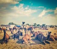 Cammelli a Pushkar Mela (cammello giusto), India di Pushkar Fotografie Stock