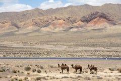 Cammelli selvaggi Fotografia Stock