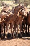 Cammelli selvaggi Immagine Stock Libera da Diritti