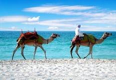 Cammelli su una spiaggia della Doubai Fotografia Stock