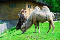 Cammelli sulla passerella Fotografia Stock