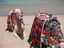 Cammelli sulla spiaggia fotografia stock libera da diritti
