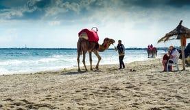 Cammelli sulla spiaggia, Djerba, il 7 novembre 2014 Fotografia Stock