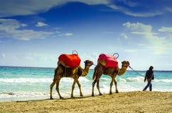 Cammelli sulla spiaggia, Djerba, il 7 novembre 2014 Fotografie Stock