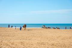 Cammelli sulla spiaggia in Essaouira Immagine Stock