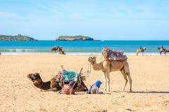 Cammelli sulla spiaggia in Essaouira Fotografia Stock