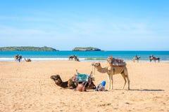 Cammelli sulla spiaggia in Essaouira Fotografie Stock