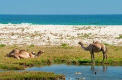 Cammelli sulla spiaggia, Oman Immagini Stock