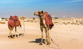 Cammelli vicino ad Al Zubara forte storico nel Qatar fotografia stock