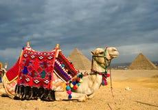 cammello Fotografia Stock