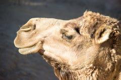 Cammello africano Immagine Stock