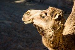 Cammello africano Fotografia Stock