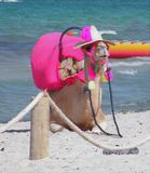 Cammello alla spiaggia fotografia stock